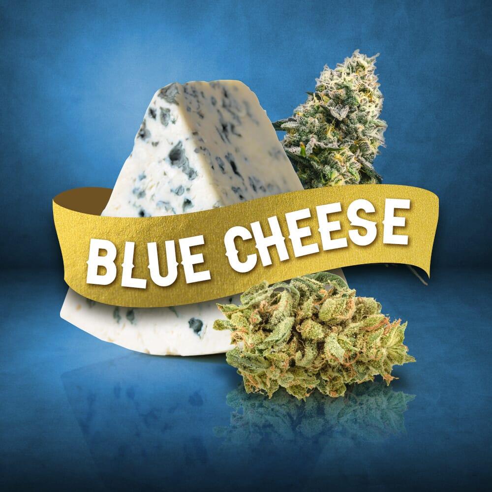 Blue Cheese Feminized Marijuana