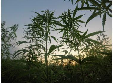 When Can I Harvest Marijuana?