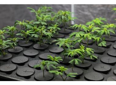How to clone your favorite marijuana plant