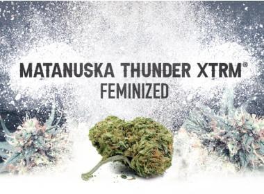 Matanuska Thunder XTRM Feminized: The Go-to Strain?