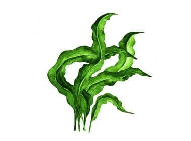 Seaweed: 3 ways to use this Cannabis Superfood