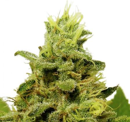 Amnesia Trance weed plant