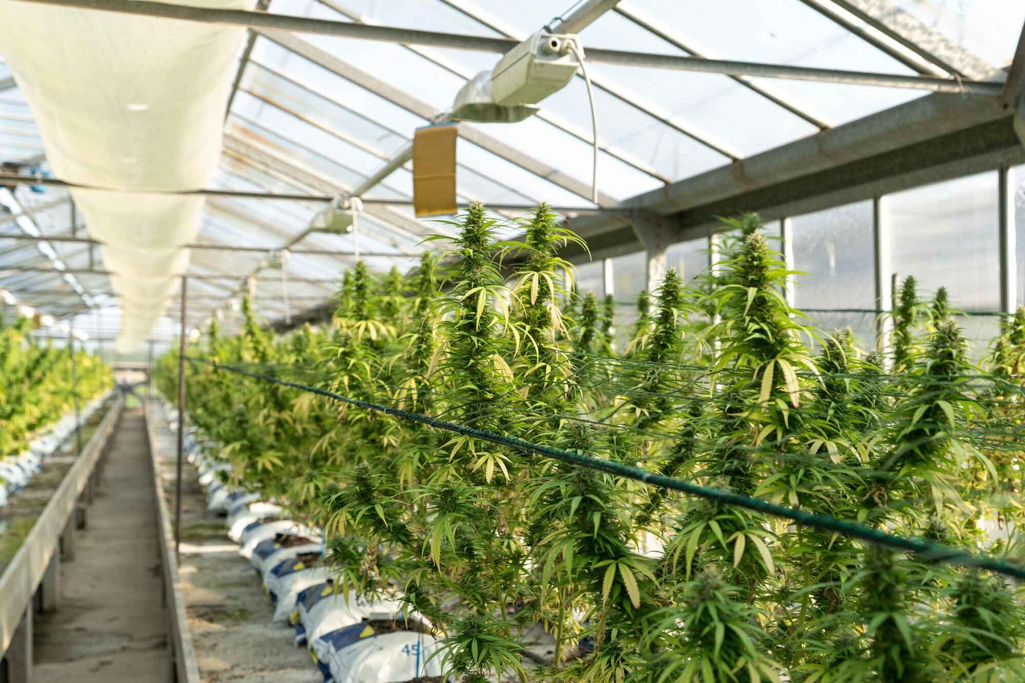 Big Cannabis Plants