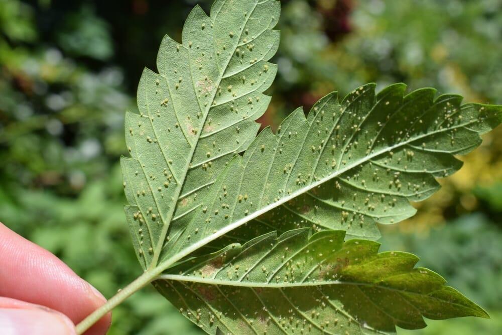 aphid-infestations-marijuana-leaf