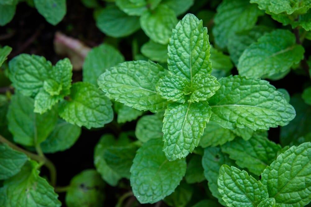 mint_plant