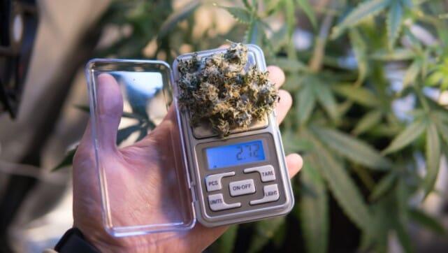 Heavy yield cannabis