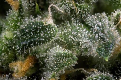 terpenes_marijuana