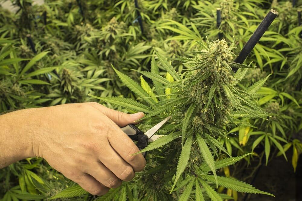 trimming_cannabis_plant