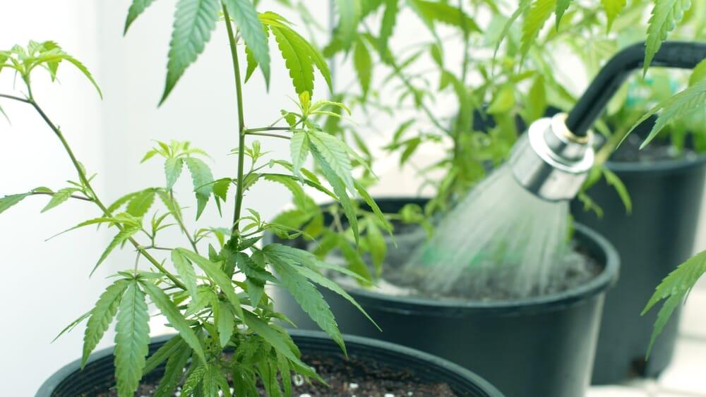 watering weed plants
