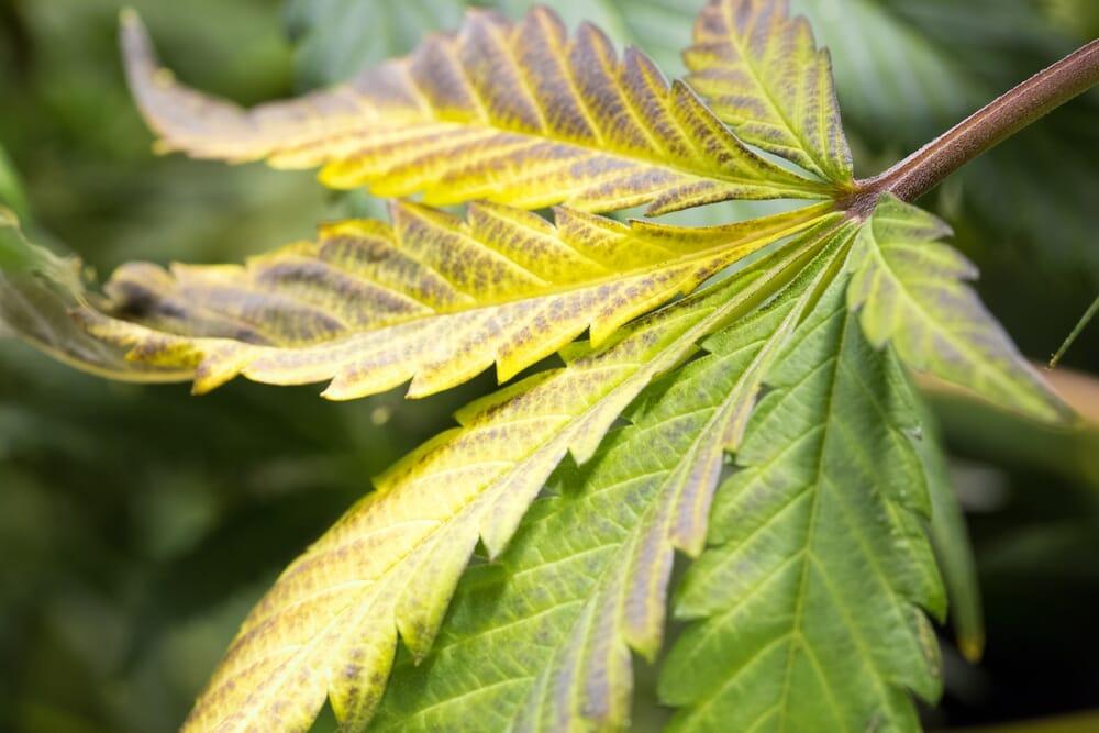 yellowish-brown-leafs